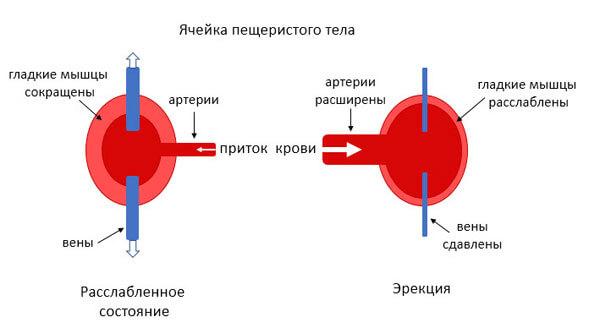 Механизм мужской эрекции фото